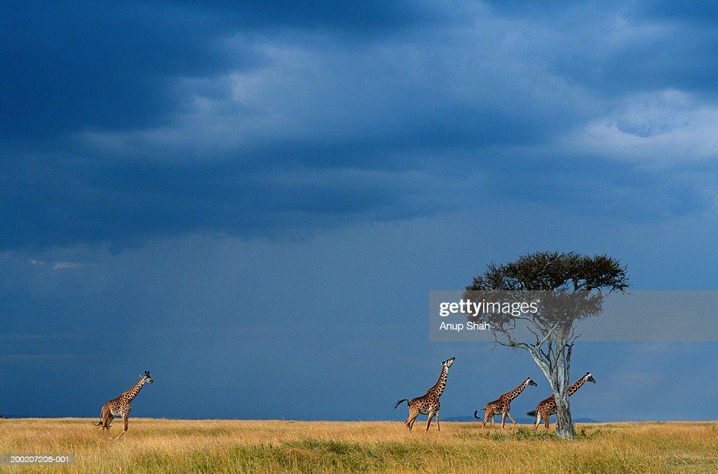 Four Masai giraffes (Giraffa camelopardalis tippleskirchi) walking on grassland, Masai Mara NR Kenya : Stock Photo