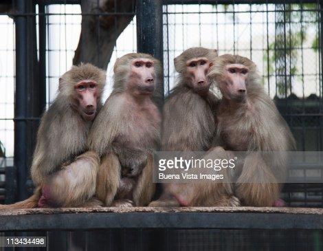Four monkeys sitting together