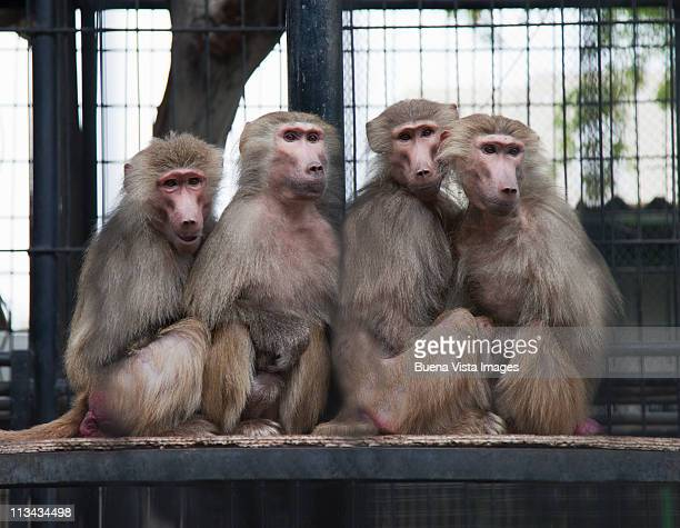 Four monkeys sitting together