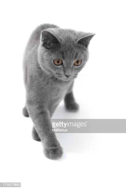 Quattro mesi di età British gattino grigio Gatto dal pelo corto