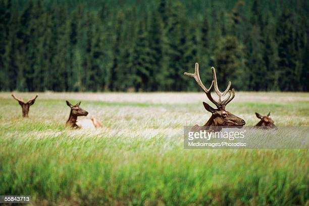 Four Moose in a field, Yellowstone National Park, Wyoming, USA
