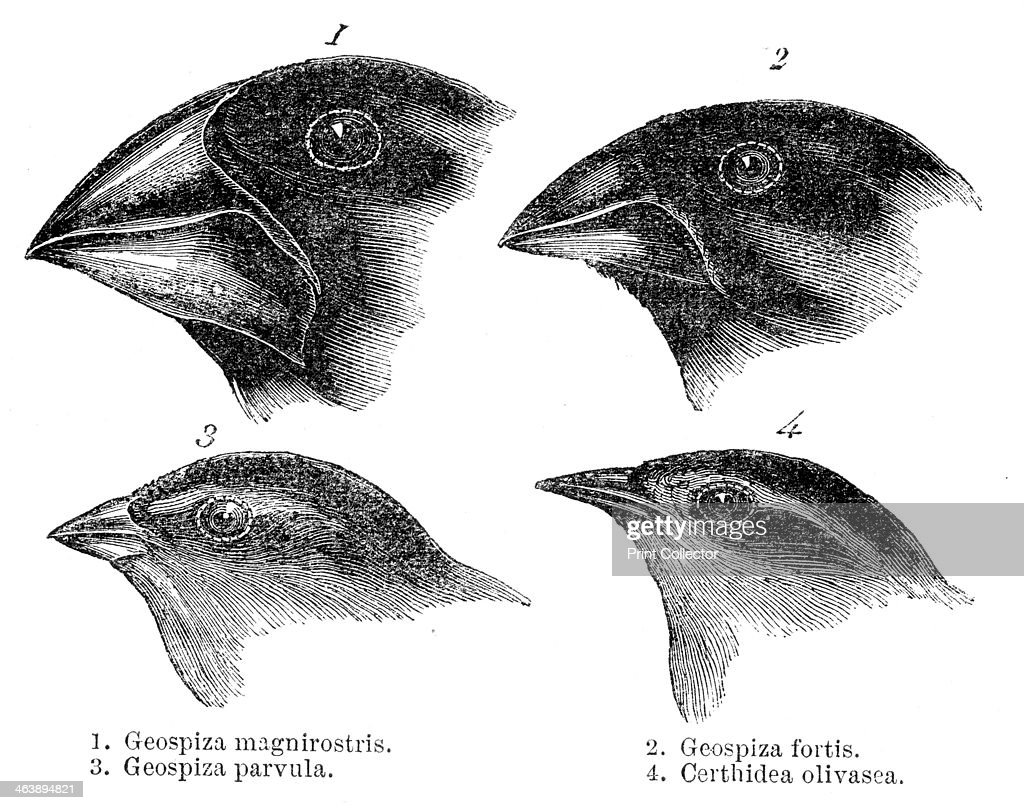 Four or the species of finch observed by Darwin on the Galapagos Islands showing variation of beakThe study of the flora of the Islands contributed...