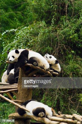 Four pandas (Ailuropoda melanoleuca) resting in a forest : Foto de stock
