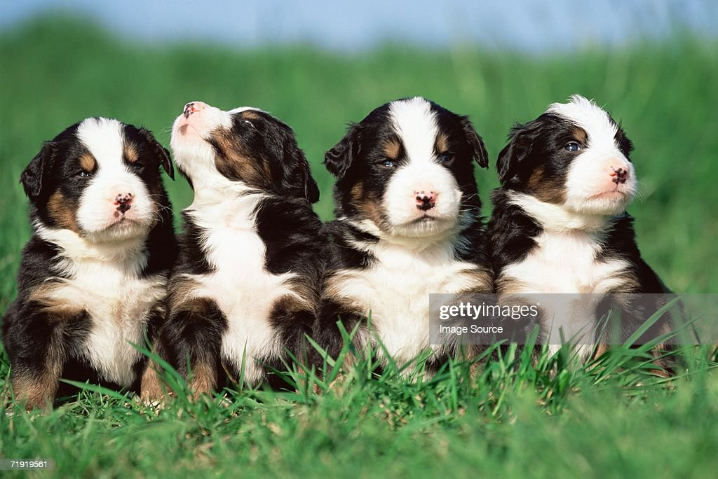 Four puppies in a  row : Stock Photo