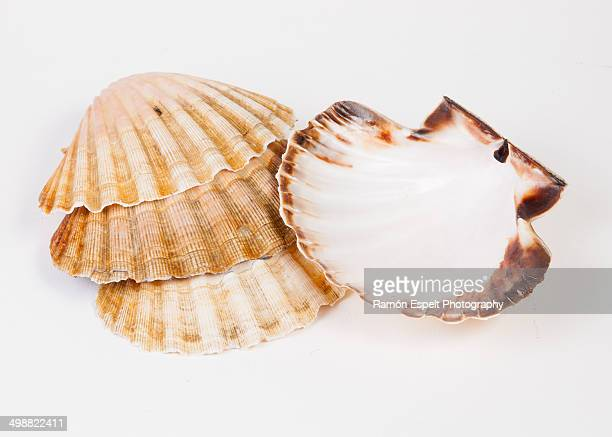 Four scallops isolated on white background detail