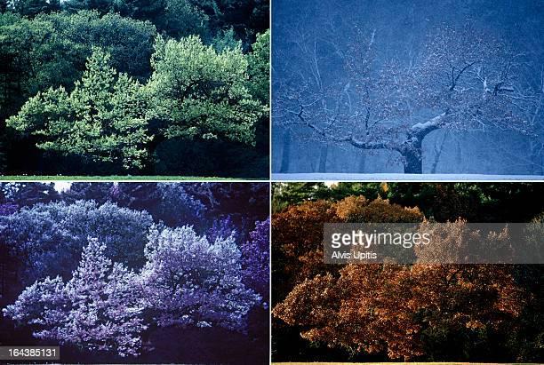Four seasons of Oak tree