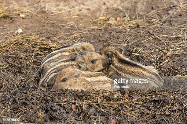 Four sleeping boar piglets, Sus scrofa