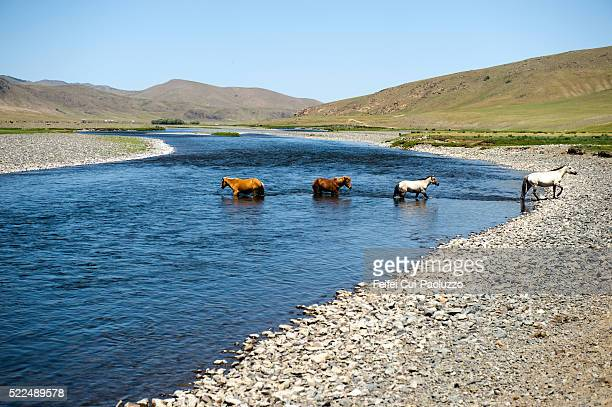 Four wild Horses crossing Orkhon River at Orkhon Valley in Central Mongolia