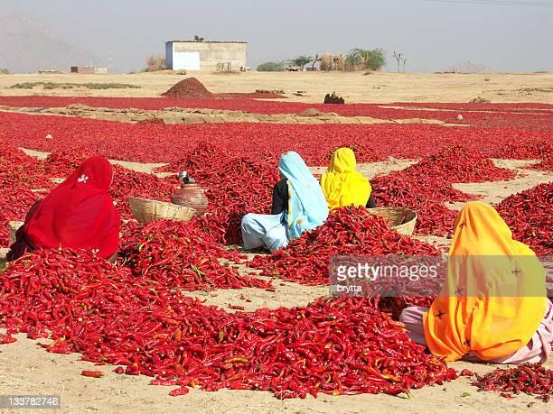 Quatre femmes inspection rouge chili peppers au Rajasthan, Inde