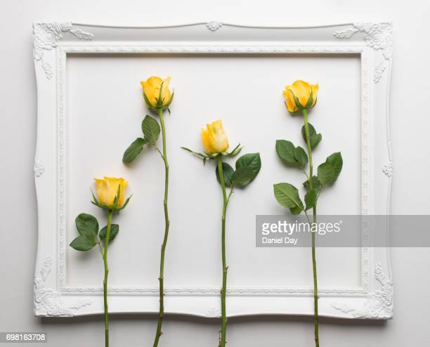 Four yellow roses laid out inside a white picture frame on a white background
