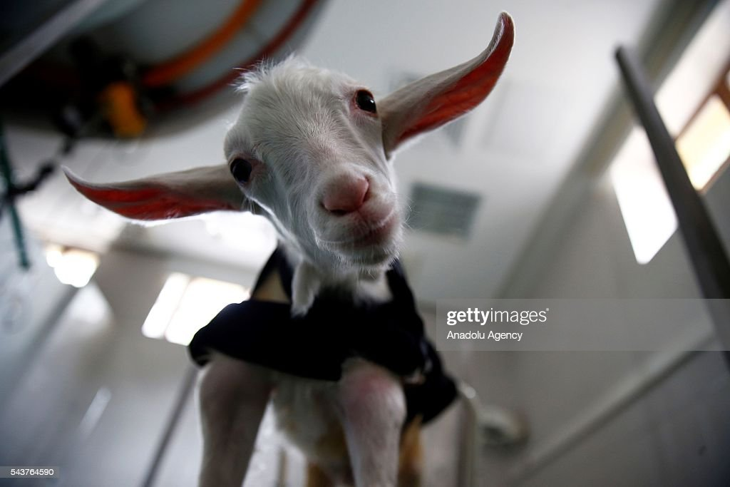 A four-and-a-half month old goat named Subat (February) is seen after it got back to health in Ankara, Turkey on June 30, 2016. Ankara University Vetinary Faculty Internal Diseases Department Head Mehmet ahal and Research Assistant Erdal Kara have nursed a goat named Subat back to health after it caught tetanus at 45 days old and nearly died.