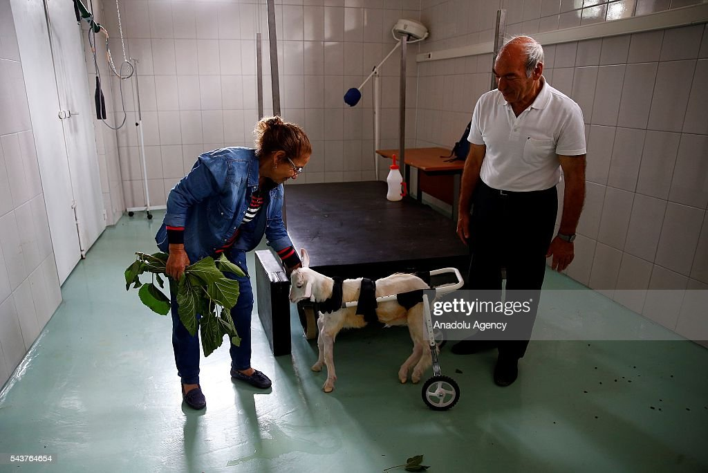 A four-and-a-half month old goat named Subat (February) is seen with its owner after it got back to health in Ankara, Turkey on June 30, 2016. Ankara University Vetinary Faculty Internal Diseases Department Head Mehmet ahal and Research Assistant Erdal Kara have nursed a goat named Subat back to health after it caught tetanus at 45 days old and nearly died.