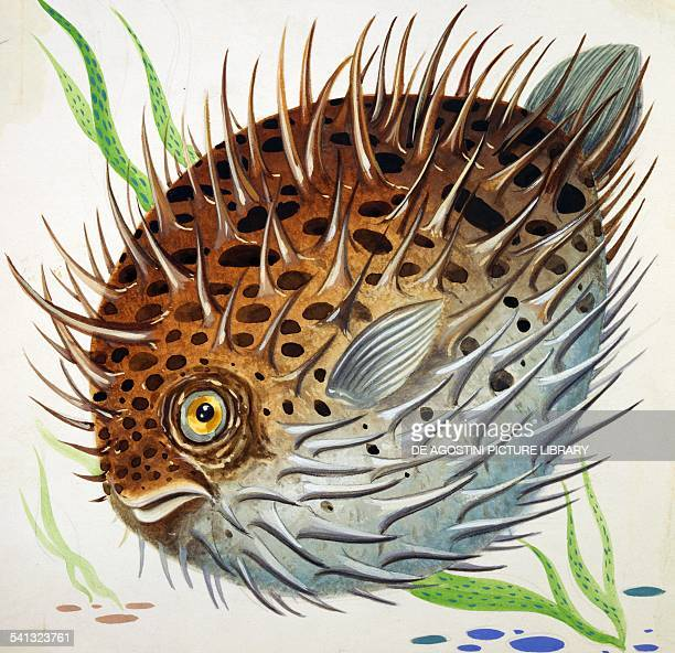 Fourbar porcupinefish Diodontidae drawing