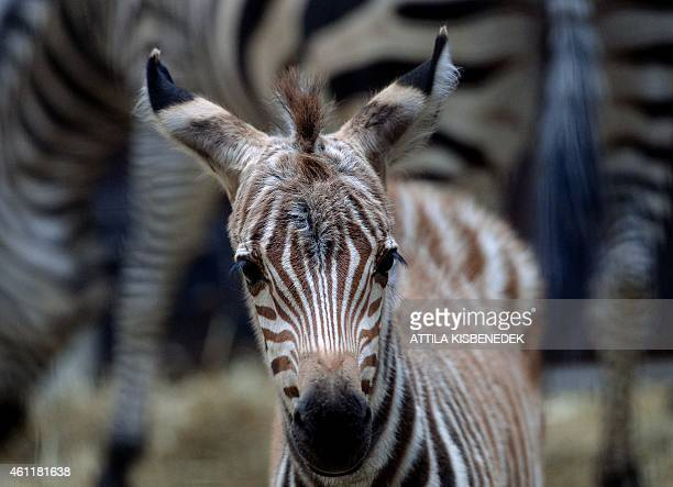A fourday old zebra stands next to its mother Romy of the Duch Safaripark Beekse Bergen in Budapest Zoo and Botanic Garden of the Hungarian capital...