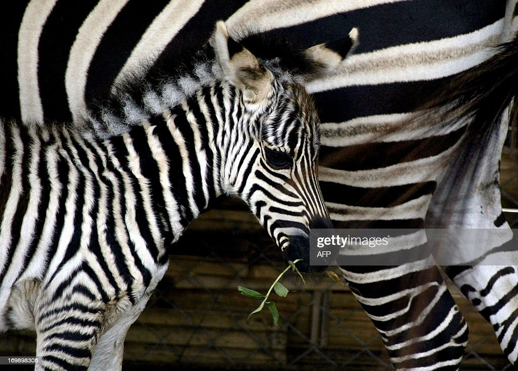 Fourdayold baby zebra named Mentari meaning sun stays close to her mother Arusha 20 year old at Surabaya zoo in Indonesia's eastern Java island on...