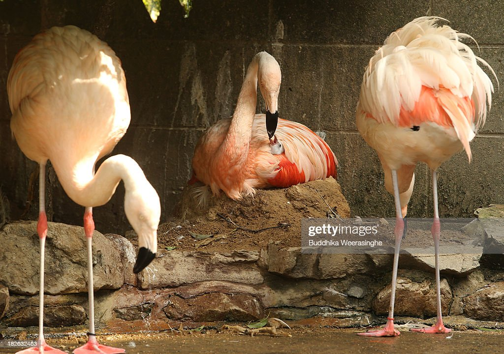 A four-day-old Chilean flamingo chick feed by its father named Migi Aka at the Himeji Central Park on October 2, 2013 in Himeji, Japan. A baby flamingo was born on September 29, 2013. The baby flamingo was born on September 29 and will take up to two or three years to fully develop the pink feathers of mature adults.