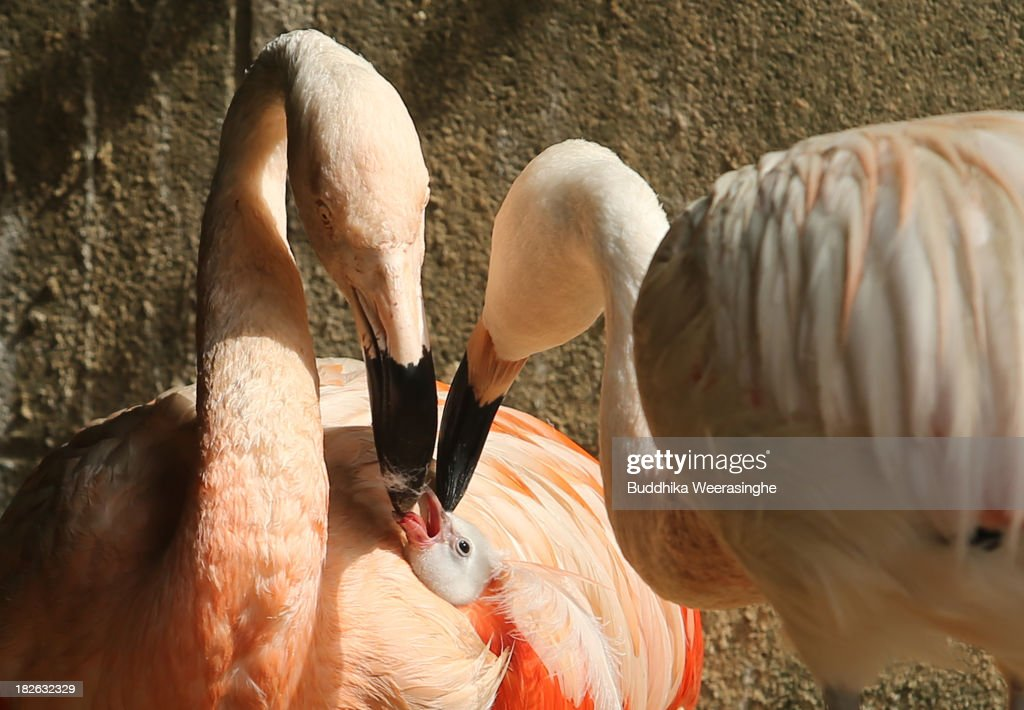 A four-day-old Chilean flamingo chick is fed by its father named Migi Aka (L) and mother Hidari Aka at the Himeji Central Park on October 2, 2013 in Himeji, Japan. The baby flamingo was born on September 29 and will take up to two or three years to fully develop the pink feathers of mature adults.