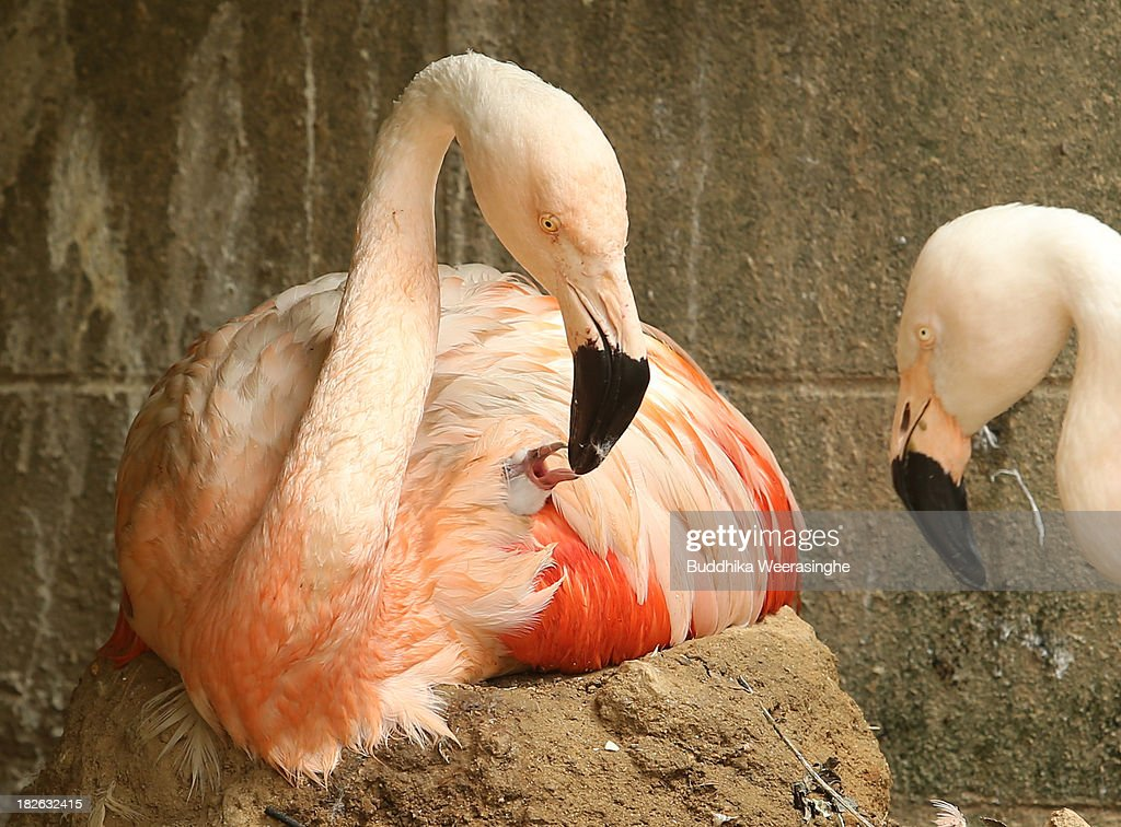 A four-day-old Chilean flamingo chick is fed by its father named Migi Aka at the Himeji Central Park on October 2, 2013 in Himeji, Japan. The baby flamingo was born on September 29 and will take up to two or three years to fully develop the pink feathers of mature adults.