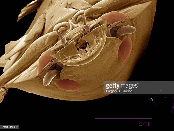 Four-eyed Whirligig beetle, Gyrinidae SEM