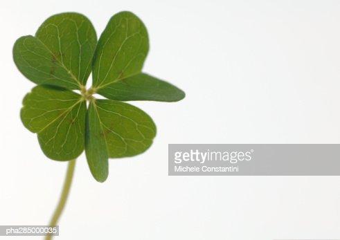 Four-leaf clover, close-up