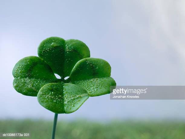 Four-leaf clover on field, close up