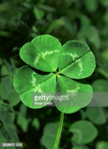 Four-leafed clover, close-up : Stock Photo