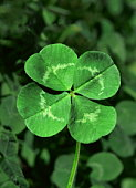 Four-leafed clover, close-up