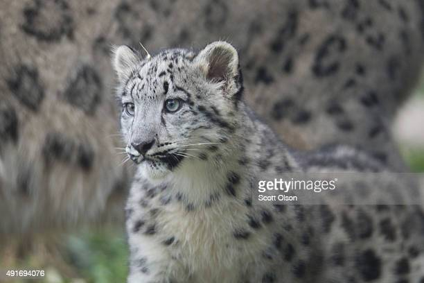 A fourmonth old snow leopard cub make its public debut at the Brookfield Zoo on October 7 2015 in Brookfield Illinois The cub and its twin sister...
