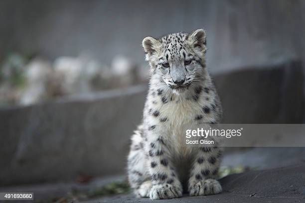 A fourmonth old snow leopard cub makes its public debut at the Brookfield Zoo on October 7 2015 in Brookfield Illinois The cub and its twin sister...