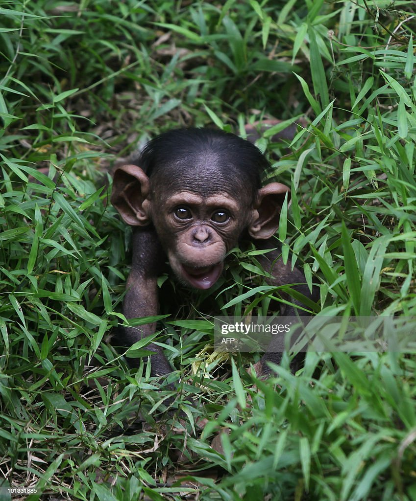 A four-month-old baby Chimpanzee is seen at the National Zoo in Kuala Lumpur on February 10, 2013. The baby Chimpanzee was born on November 2012.