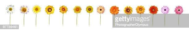 Fourteen daisies XXXL