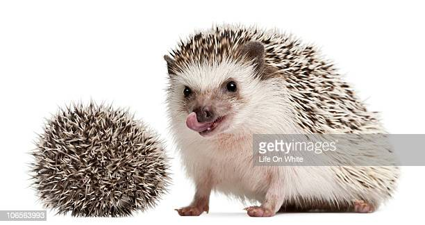 Four-toed Hedgehog - Atelerix albiventris