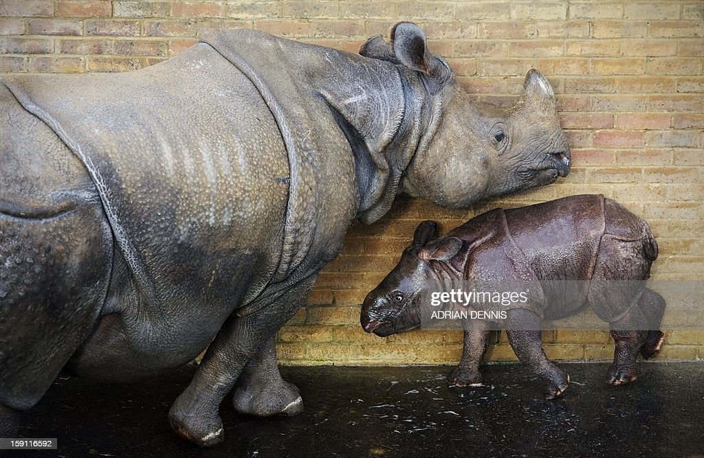 Four-week-old Jamil (R) a greater one horned rhinoceros stands beside his mother, Behan, at an enclosure at Whipsnade Zoo on January 8, 2013. The rhino, one of Whipsnade's newest arrivals weighed in a 59 Kg at birth. The young rhino made its first pubic appearance, stepping out from his paddock for the first time ready to be counted in the annual zoo stocktake.