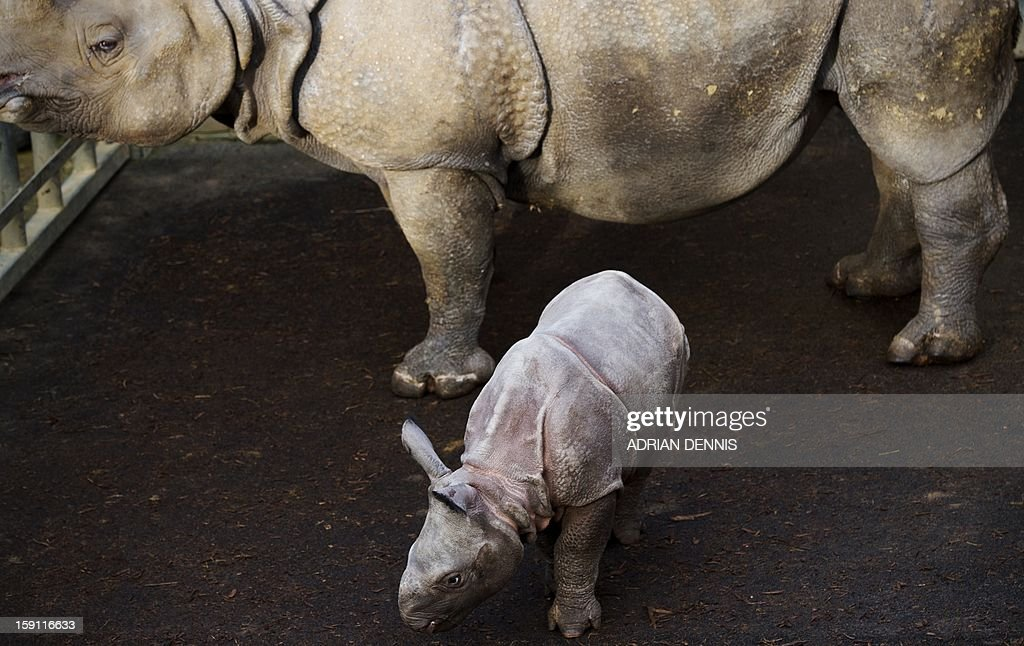 Four-week-old Jamil (R) a greater one horned rhinoceros stands beside his mother, Behan (L) at an enclosure at Whipsnade Zoo on January 8, 2013. The rhino, one of Whipsnade's newest arrivals weighed in a 59 Kg at birth. The young rhino made its first pubic appearance, stepping out from his paddock for the first time ready to be counted in the annual zoo stocktake. AFP PHOTO / ADRIAN DENNIS