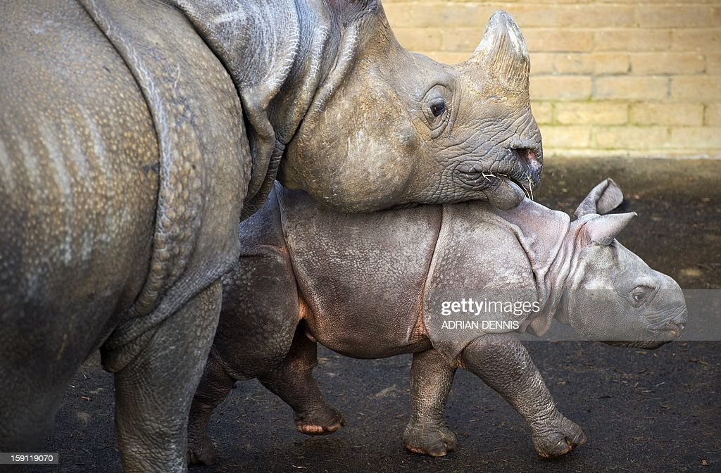 Four-week-old Jamil, a greater one horned rhinoceros stands beside his mother, Behan, at an enclosure at Whipsnade Zoo on January 8, 2013. The rhino, one of Whipsnade's newest arrivals weighed in a 59 Kg at birth. The young rhino made its first pubic appearance, stepping out from his paddock for the first time ready to be counted in the annual zoo stocktake. AFP PHOTO / ADRIAN DENNIS