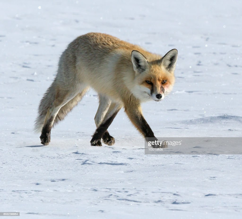 Fox at winter : Stock-Foto