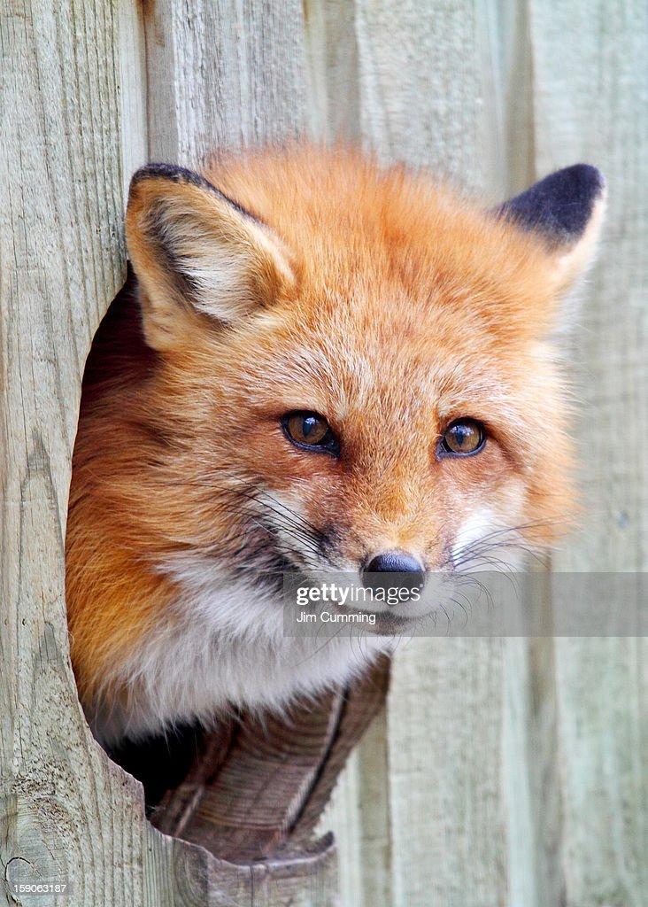 Fox Hole : Stock Photo