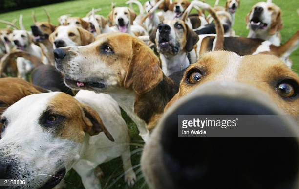Fox Hounds Are Excercised As Hunting Season Approaches