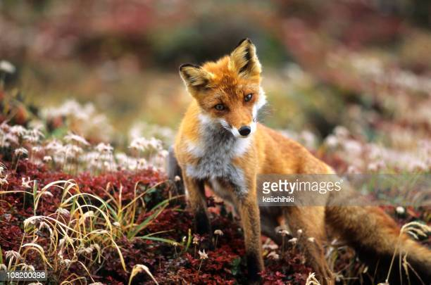 Fox in a autumn mountain