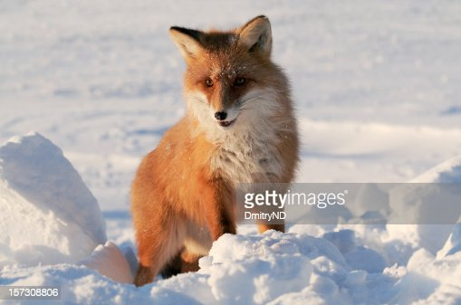 Fox in snow.