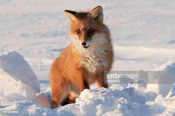 Fox in snow.