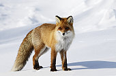 Fox in snowdrift.