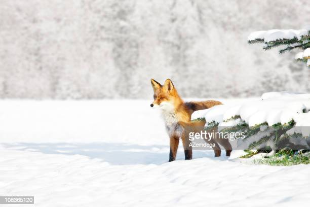 Fox in winter