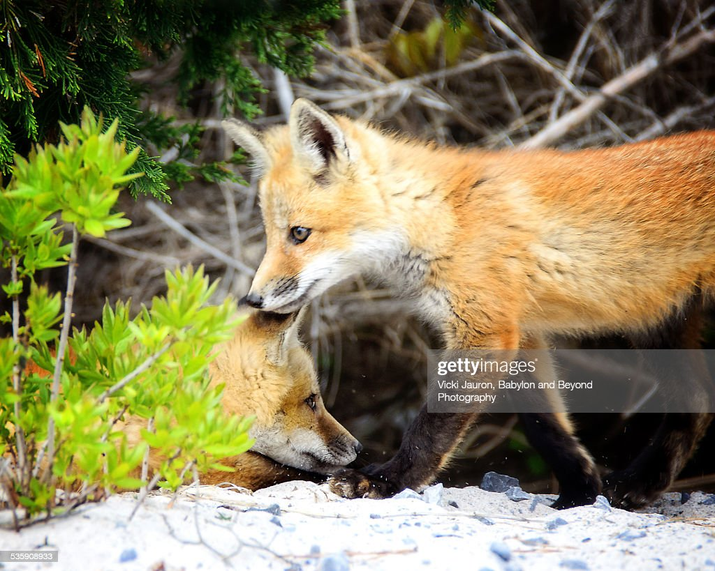 Fox Kits at the Fire Island Lighthouse : Stock Photo