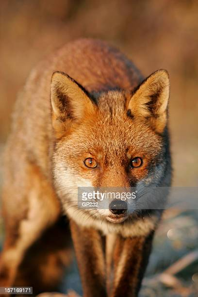 Fox portrait with shades of red