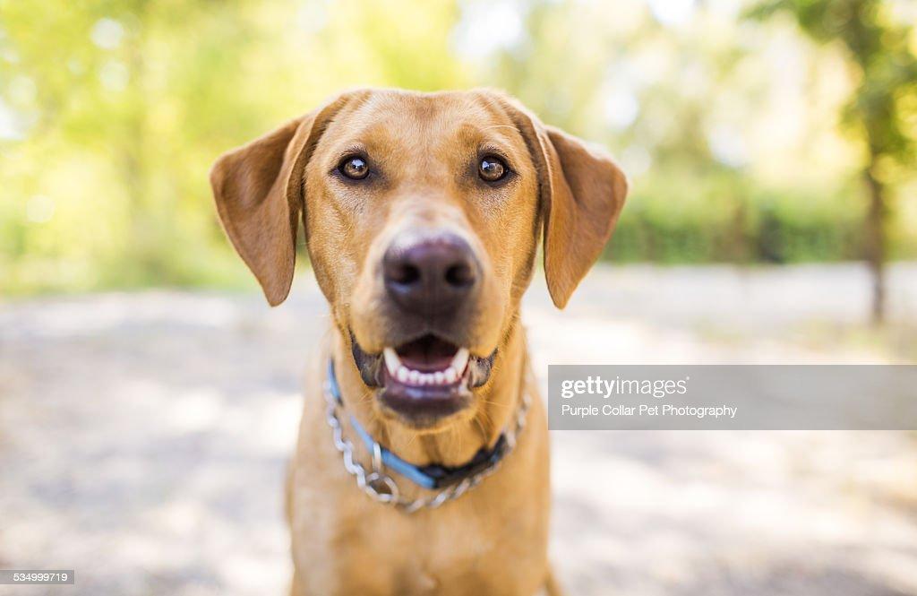 Fox red labrador retriever smiling outdoors