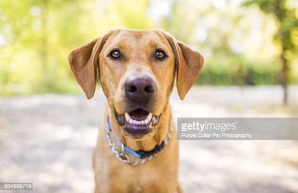 Fox red labrador retriever smiling outdoors