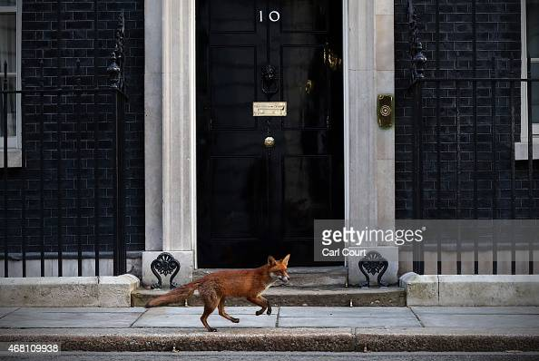 A fox runs in front of 10 Downing Street on March 30 2015 in London England Campaigning in what is predicted to be Britain's closest national...