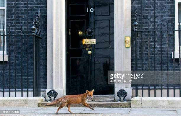 A fox runs past the door of 10 Downing Street in London on March 30 2015 British Prime Minister David Cameron will on March 30 ask Queen Elizabeth II...