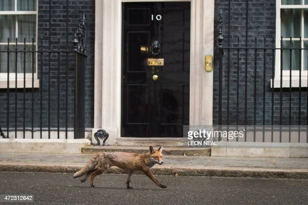 A fox runs past the front door of 10 Downing Street in central London on May 6 on the eve of a general election in Britain Britain's political...